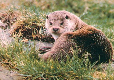 Otters resident around and on the Island